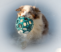 1-51 Della - Bounding into the New Year (janecumming33) Tags: 52weeksfordogs australianshepherds aussies dogs snow ball