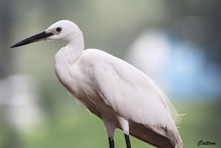 Snowy Egret - Hong Kong- Explore