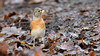 Brambling (image 1 of 3) (Full Moon Images) Tags: rspb sandy lodge thelodge wildlife nature reserve bedfordshire bird brambling