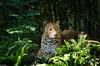 Zoo Doué La Fontaine, Bio Parc (GL Showa) Tags: douélafontaine panthère zoo félin