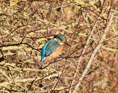 Kingfisher (Lutra56) Tags: kingfisher alcedoatthis beckinghammarshes britishbirdsandwildlife nature naturephotography