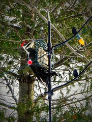 Pileated woodpecker at the suet feeder--Explored (yooperann) Tags: pileated woodpecker suet feeder jack pine tree christmas holiday lights gwinn upper peninsula michigan marquette county