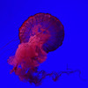 Jellyfish - red mood (swissgoldeneagle) Tags: toronto xperiaphotography ripleysaquariumofcanada publicaquarium provinceofontario 1x1 qualle red provincedontario ripleyentertainment kanada rot aquarium méduse jellyfish xzpremium ripleysaquarium xperia quallen canada ontario ca