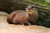 Otter Cooling off after a dip (Mark Harris photography) Tags: otter animal smallclawed cuteness zoo