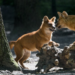 Young dholes playing together thumbnail