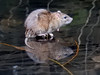 Rat 11 - Explore 04/01/2018 (Magic Moments by Pippa) Tags: british wildlife nature nikon p900 mammals rat water reflection