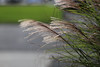 Suburbia (Bob90901) Tags: suburbia bokeh longisland newyork autumn afternoon depthoffield light reeds rpg90901 lawn road sunlight canon 6d canonef70200mmf28lisiiusm canon70200f28lll fall