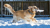 Yogi '18 (R24KBerg Photos) Tags: yogi dog goldenretriever cute sweet pet animal canon snow 2017 wintervillenc friend winter cold snowfall beautiful nature playing playful pretty canine action running