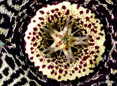 DSC_0018 (RachidH) Tags: flowers blooms blossoms cactus cactii thorns thornyplants succulents stapelia starfishplant orbeavariegata stapeliavariegata stapelialepida starfishcactus carrioncactus carrionflower toadcactus toadplant rachidh maadi cairo egypt nature