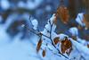 Unter sanfter Schneedecke (Ernst_P.) Tags: aut geisterklamm leutasch österreich schnee tirol winter brücke sigma 50mm f14 buche blatt laub hoja leaf snow sony a99ii