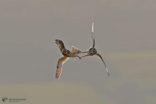 Short-eared owls (big crop)