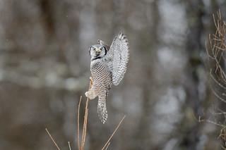 Northern Hawk Owl_45984-.jpg