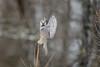 Northern Hawk Owl_45984-.jpg (Mully410 * Images) Tags: avian birding owl birder hawkowl birdwatching bird balancing birds birdsofprey birdsinflight saxzimbog raptor northernhawkowl bog