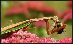 IMG_9690 Not a Sweet Kiss Goodbye 9-21-17 (arkansas traveler) Tags: prayingmantis insects bichos bugs flowers sedum nature naturewatcher natureartphotography zoom telephoto