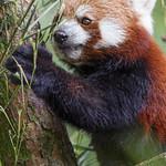 Red panda eating leaves thumbnail