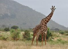 Giraffa camelopardalis tippelskirchi - Giraffe - Girafe des Masaï -  - 20/02/10 (Philippe_Boissel) Tags: giraffacamelopardalis giraffacamelopardalistippelskirchi girafe giraffe girafedesmasaï giraffidae artiodactyla mammalia mammals mammifère afrique kenya tsavo tsavoest 0024