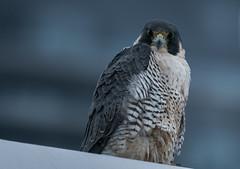 Wild Peregrin Falcon - Surprising Find! (rmikulec) Tags: falco peregrinus falcon peregrine bird raptor prey nature wild wildlife beautiful feather beak eye toronto lens sony a7rii 100400mm etobicoke ontario canada winter