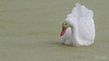 Coscoroba (..Javier Parigini) Tags: coscoroba coscorobacoscoroba coscorobaswan argentina cordoba generalroca campo gralroca nido nest nikon nikkor d500 200400mm ave aves bird nature naturaleza ornitologia javierparigini flickr wildlife wildlifephotography javierpariginifotografia