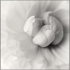 Ranunculus (Funchye) Tags: ranunculus 60mm nikond610 flower