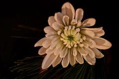 Christmas Chrysanthemum (Caroline.32) Tags: chrysanthemum macromondays macro litbycandlelight christmas pineneedles nikond3200 niftyfifty 50mm18 extensiontube12mm