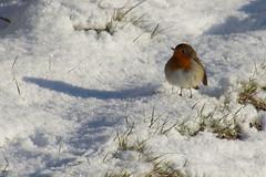 Robin in the Snow (steve_whitmarsh) Tags: kintore aberdeenshire scotland snow ice winter nature frozen animal birds robin