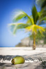 Noix de Coco @ Plage de l'anse Laborde (eschborn.photography) Tags: eschborn eschbornphotography gecko caribbean karibik french antilles vacation grand terre antillen strand beach coconut kokosnuss palme palm tree cliff sun fruit day