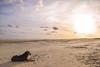 Cusco na praia (crismdl) Tags: praia praiadocassino riogrande riograndedosul rs brazil brésil cachorro dog cão perro chien mar litoral sunset pordosol