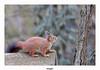 Ecureuil roux (gilbert.calatayud) Tags: ecureuil roux sciurus vulgaris rongeur sciuridés laddo domaine des oiseaux mazères ariège midipyrénées