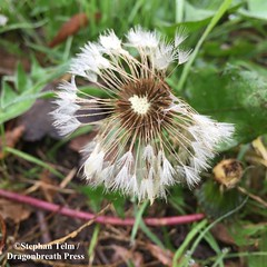 IMG_4979_blowflower (sdttds) Tags: flower tattered blowflower wabisabi pictureoftheday pod 365 365in2017 2017 2017yip projrct365 01dec2017 seeds