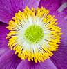 Pistil & Stamen (Close-up) (Roniyo888) Tags: closeup pistil stamen stigma filament macro flowe