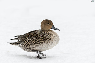 ''Madame Pilet!'' Canard pilet- Northern pintail