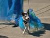 Dog Dress (swong95765) Tags: dog cute animal canine dress attire outfit parade blue mermaidparade