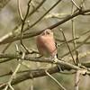 Chaffinch (MJ Harbey) Tags: tree bird leaf foliage chaffinch malechaffinch wildbird collegelake berksbucksoxonwildlifetrust thewildlifetrust nikon d3300 nikond3300 fringillacoelebs buckinghamshire tring