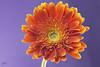 Orange (Jamil-Akhtar) Tags: canon 6d bellows takumar 100mm f4 m42 nature macro flower stacking orange islamabad pakistan