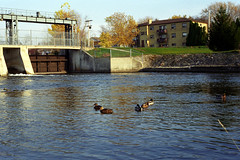 Ducks in Front of Floodwater Management Gate (pmvarsa) Tags: fall autumn 1999 analog film 35mm 135 kodak kodakroyalgold400 canon ftb classic camera nikonsupercoolscan9000ed nikon coolscan outside cans2s outdoors city urban trees speed river water park bridge leaves blue green reflection ducks sky building power lines floodwater management gate guelph ontario canada