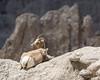 Eye on you ((JAndersen)) Tags: badlands badlandsnationalpark sheep bighornsheep nature wildlife nikkor20005000mmf56 nikon d7200 southdakota flickr