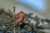 Red Crossbill (Joe Branco) Tags: nature photoshopcc2018 nikond850 ontario canada joebrancophotography birds wildlife redcrossbill green joe branco