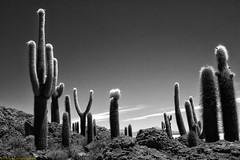 Incahuasi Cacti (billkuhn) Tags: cacti blackandwhite bolivia incahuasi salardeuyuni blackwhite