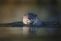 Otter (Daniel Trim) Tags: lutra otter european river swimming suffolk mammal wildlife nature animal uk england photography