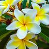 Yellow & White (VVMesquita) Tags: plants nature colourful brazil brasil brasília bsb colourpop colourspop macro closeup flower lumia lumiaphotography shotonmylumia lumia1020 nokia1020 nokia 1020 plumeria