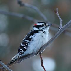 22. Hairy woodpecker staredown (Misty Garrick) Tags: arboretum minnesotaarboretum minnesotalandscapearboretum bird birding woodpecker hairywoodpecker mnarblife