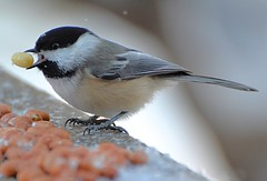 Frozen Peanuts Are Slippery! (DaPuglet) Tags: bird birds chickadee chickadees animal animals nature wildlife peanuts winter cold ontario coth5 ngc npc fantasticnature