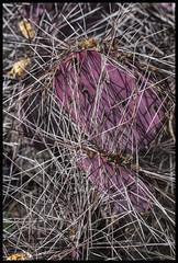Opuntia #7 2017; Purple, Desert Museum (hamsiksa) Tags: plants flora desertplants xerophytes succulents cactus cacti cactaceae opuntia santarita spines purple arizonasonoradesertmuseum desert sonorandesert arizona tucson