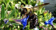 Bumblebee visiting flowers, Walmart (Martin LaBar) Tags: southcarolina pickenscounty bumblebee insect macro