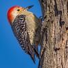 Look Up... (Wes Iversen) Tags: brighton hww kensingtonmetropark melanerpescarolinus michigan milford redbelliedwoodpecker wingwednesday birds nature plumage red square trees wood woodpeckers