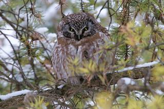 Nyctale de Tengmalm - Boreal Owl - Aegolius funereus