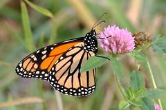 Monarch Butterfly 500 - Danaus Plexippus (Chrisser) Tags: insects insect butterflies butterfly monarch danausplexippus nature ontario canada canoneosrebelt6i canonef75300mmf456iiiusmlens nymphalidae