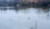 Fly with me... (@petra) Tags: lake birds gulls water reflections cloudy winter nature england uk ducks swimming flying