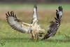 Myszołowy, Common Buzzard (Buteo buteo) ... 2017r (Rafal Szozda) Tags: birds nature animals wildlife colors winter flight fight meadow nikon nikkor lens lubuskie poland