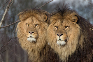 Chris&Antoon, African Lion Brothers